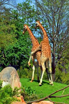 giraffes mature - image #304525 gratis