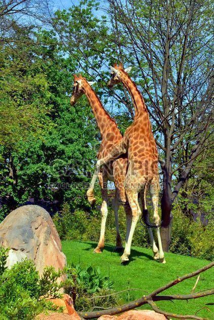 casal de girafas - Free image #304525