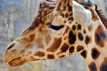 Giraffe Portrait - бесплатный image #304535