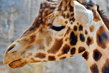 Giraffe Portrait - image gratuit #304535
