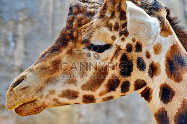 Retrato de girafa - Free image #304535