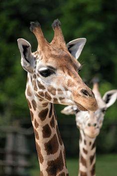 Giraffes in park - image #304545 gratis