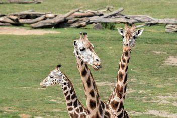 Giraffes in park - image #304555 gratis