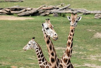 Giraffes in park - Free image #304555