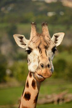 Giraffe portrait - бесплатный image #304565