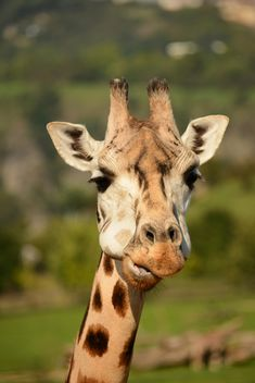 Giraffe portrait - Free image #304565