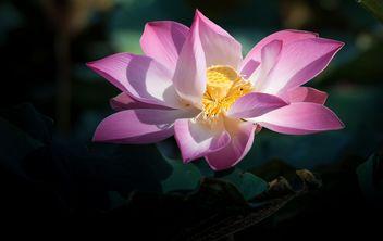 Pink lotus flower - бесплатный image #304575