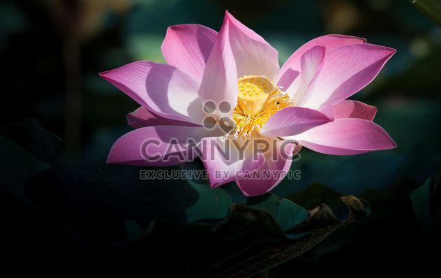 Pink lotus flower - Free image #304575