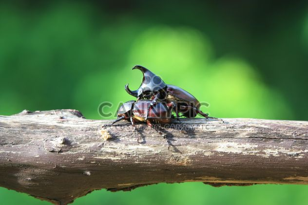 Rhinoceros beetles on log - Free image #304785
