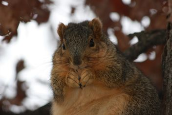 Chubby Squirrel - Free image #305745