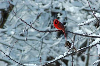 Northern Cardinal (Cardinalis cardinalis) & Fox Sparrow (Passerella iliaca) - бесплатный image #305945