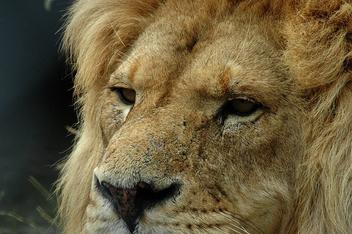 Lion - Free image #305975