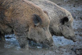 Wild boar - Free image #305985