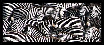 Zebra, zebra and zebra - image #306045 gratis