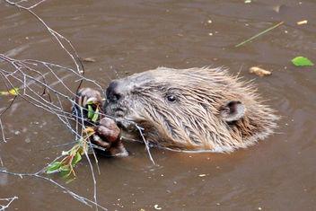 Beaver Shot - Free image #306135