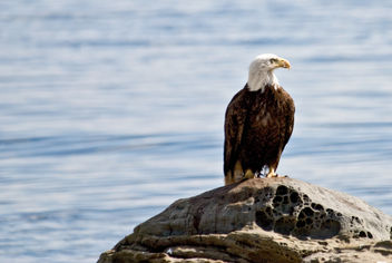 Eagle Watching the Gulls - image #306145 gratis