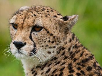 Cheetah - image gratuit #306285