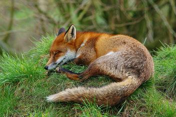 Relaxing Vixen - бесплатный image #306355