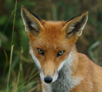 Young fox - image #306395 gratis