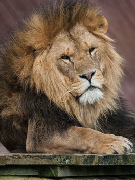 Lion - Free image #306465