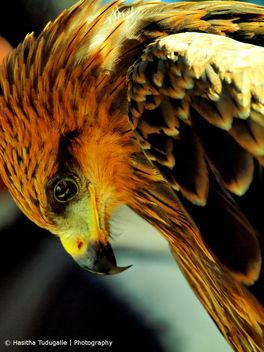 Black Kite - Kostenloses image #306485
