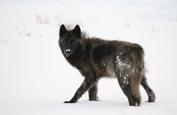 Wolf in Lamar Valley - Free image #306495