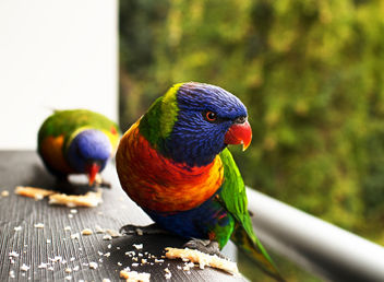 Lorikeets - Kostenloses image #306505