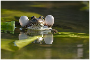 Grenouille verte / Green Frog - image gratuit #306585