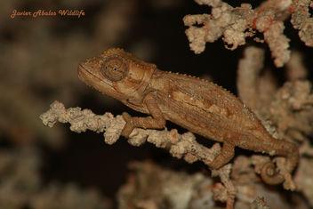 Namaqua Dwarf Chameleon - image #306655 gratis