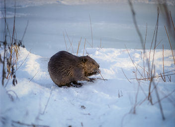 Beaver Collecting Sticks - бесплатный image #306675