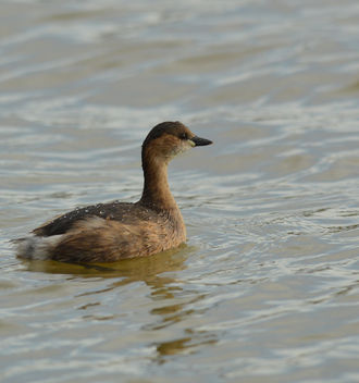 Little Grebe - Free image #306705