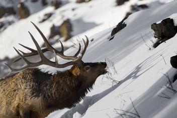 Bull Elk & Shadow - Free image #306715