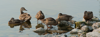 Duck family panoramic portrait - image #306815 gratis