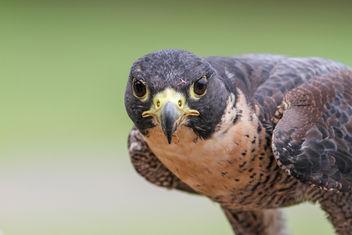 Falcon Portrait - Free image #306905