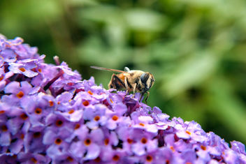 Bee Enjoying The Flowers - image gratuit #306915