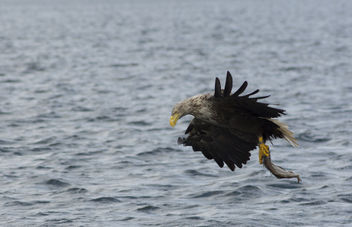 Sea Eagle - image #306925 gratis