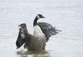 Canada Goose - image gratuit #306955