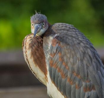 Baby Blue heron . - Free image #306975
