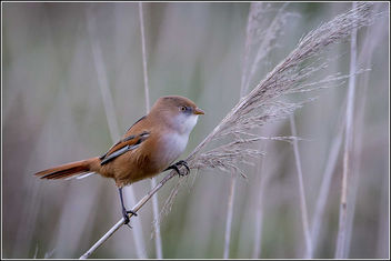 Bearded Reedling (Tit) [F] - бесплатный image #307005