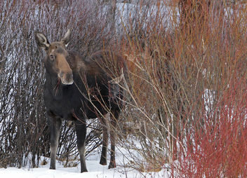 Cow moose - image #307065 gratis