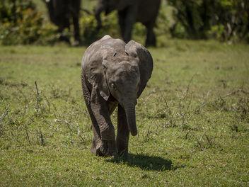 young elephant - Mara Kenya - image #307155 gratis