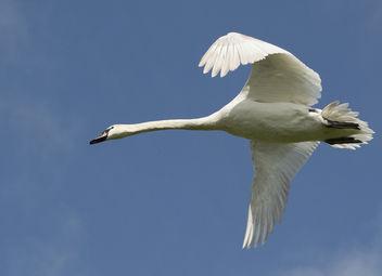 Mute Swan - image #307205 gratis