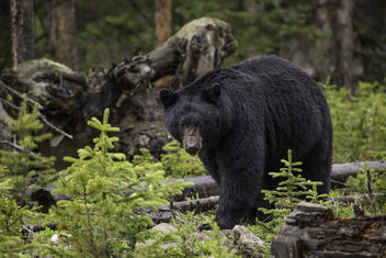 Black bear, Northeast Entrance - Free image #307235