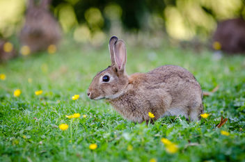 European rabbit - image gratuit #307305