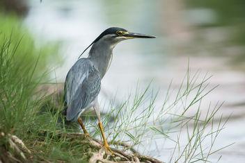Butorides striata, Striated heron - Lumpini Park, Bangkok - image gratuit #307345