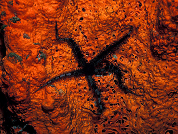 Blunt-Spined Brittle Star on Elephant Ear Sponge - image #310255 gratis