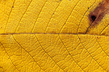 Yellow leaf texture - Free image #313525