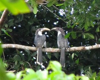 Gray-Hornbill Love - image gratuit(e) #319275