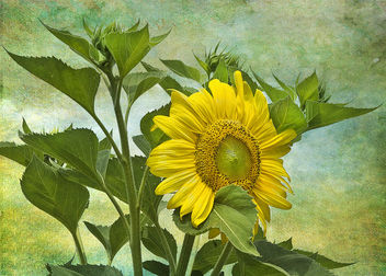 Textured sunflower - image gratuit #324825