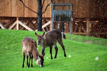 deer grazing on the grass - image #328095 gratis